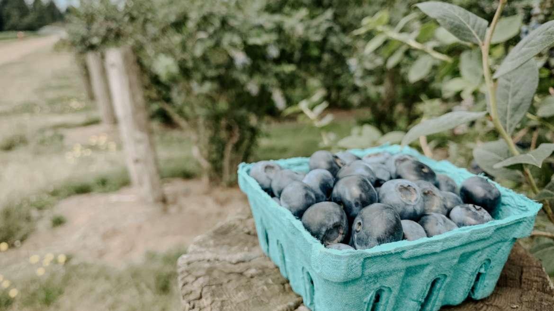 Blueberry Upick
