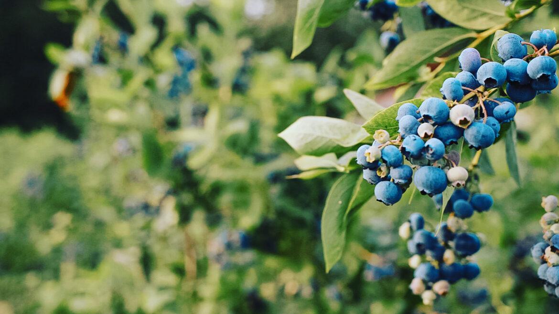 Blueberry Upick Opens 7/14